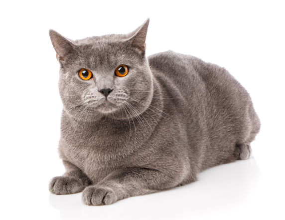 British Shorthair Cat Sitting On All Fours