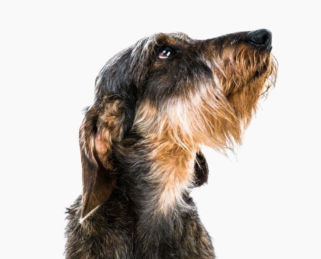 Portrait Of Deerhound Dog