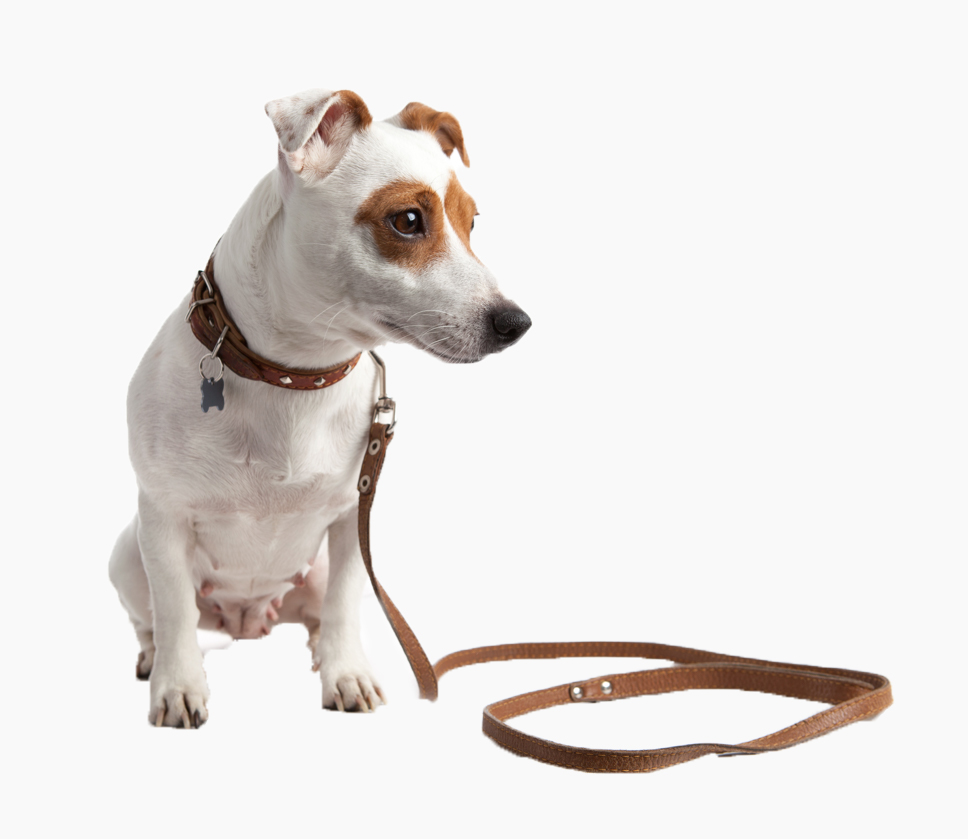 Jack Russell Terrier Dog Sitting With Brown Collar And Beside The Leash