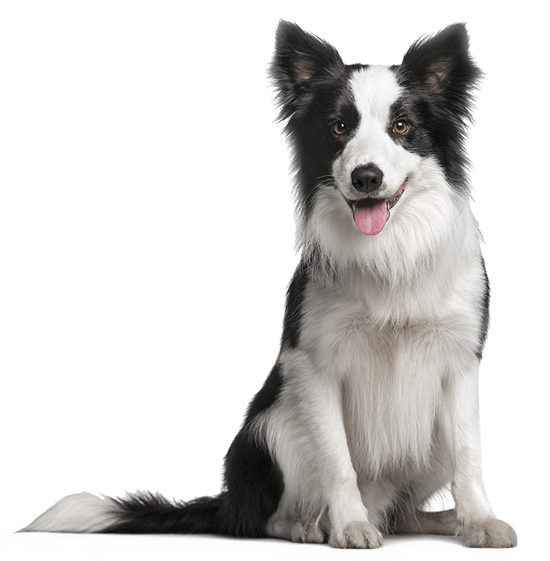 Border Collie Dog Sitting On Its Back Legs