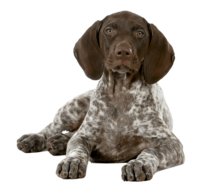 German Shorthaired Pointer Lying On Its Side