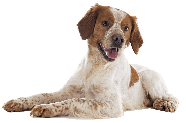 Brittany Spaniel Sitting On All Fours With Arm Stretched In Front