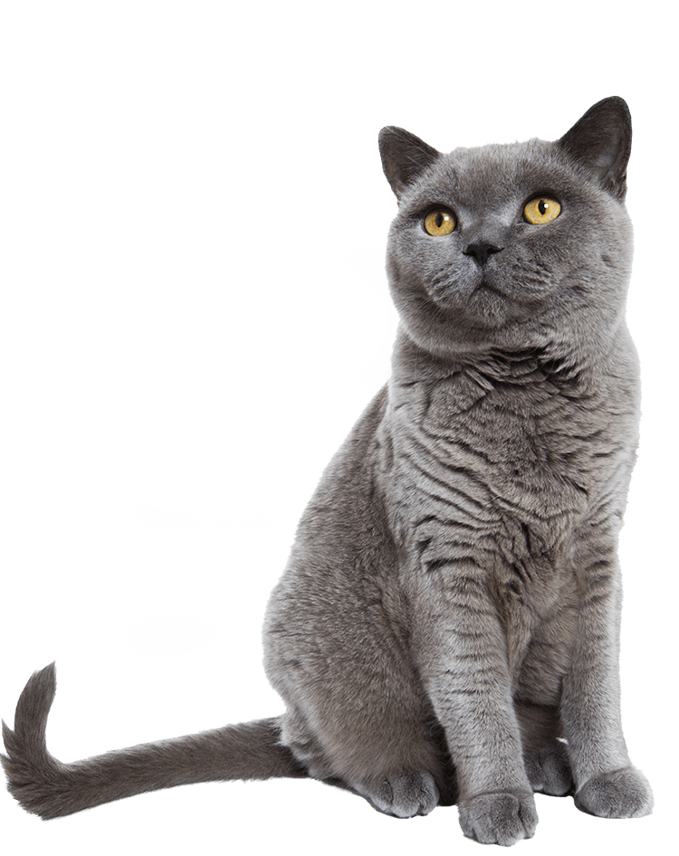 British Shorthair Cat Sitting On Its Hind Legs