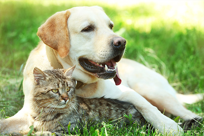 Turkish Angora Cat Lying Against The Chest Of A Labrador Retriever Dog On A Green Lawn