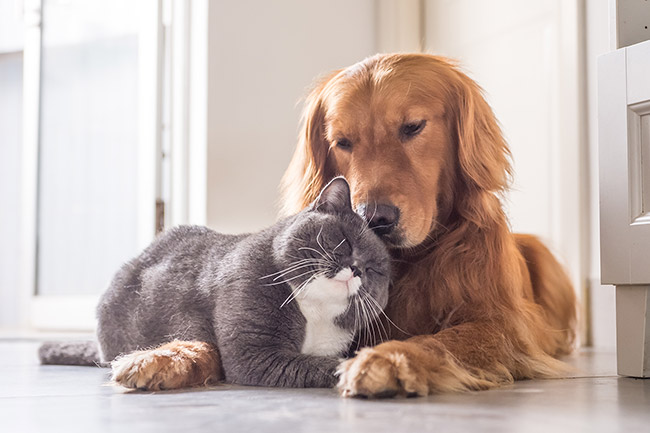 Chartreux Cat Lying Over A Cocker Spaniel Dog's Arm Cuddling Up Against Its Head